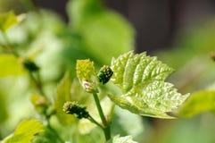 Vid de uva en la floración Fotos de archivo libres de regalías