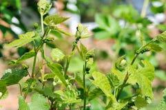 Vid de uva en la floración Imagen de archivo libre de regalías