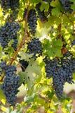 Vid de uva negra Fotografía de archivo