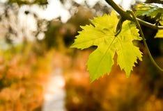 Vid de uva por una trayectoria en un jardín Imagenes de archivo