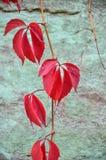 Vid de uva salvaje Hojas de la uva roja Fotografía de archivo
