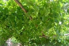 Vid de uva verde en fondo azul Fondo del verano fotografía de archivo libre de regalías