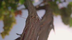 Vid de uva, viñedo Ciérrese para arriba contra el cielo almacen de metraje de vídeo