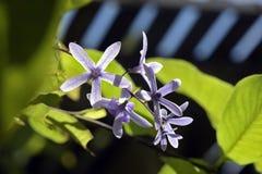 Vid del papel de lija en la floración Imagenes de archivo