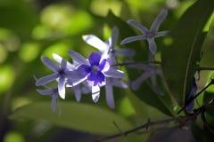 Vid del papel de lija en la floración Foto de archivo