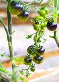 Vid del tomate de Rose Black del añil madura en el jardín Imagen de archivo libre de regalías
