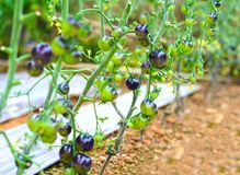 Vid del tomate de Rose Black del añil madura en el jardín Fotografía de archivo libre de regalías