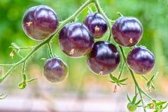 Vid del tomate de Rose Black del añil madura en el jardín Fotos de archivo libres de regalías