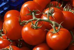 Vid del tomate madurada Imagen de archivo libre de regalías