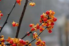 Vid dulce amarga en invierno Fotos de archivo