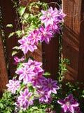 Vid floreciente de la aguileña Fotografía de archivo libre de regalías