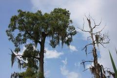 Vid liv och döda cypressträd och spansk mossa Royaltyfri Fotografi