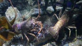 Vid liv undervattens- vatten för europeiska för palinuruselephas för taggig hummer par lager videofilmer
