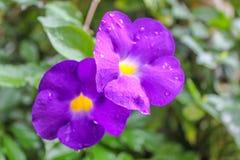 Vid púrpura hermosa del reloj del arbusto, las flores y árboles Imagen de archivo libre de regalías
