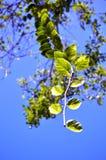 Vid tropical colgante Fotografía de archivo libre de regalías