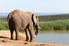 Vid vattnet - afrikanBush elefant Royaltyfri Bild