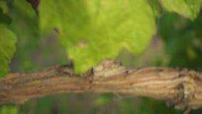 Vid vieja de la cámara lenta y hojas verdes jovenes de uvas metrajes