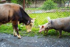 Vida da exploração agrícola: touro, porco e leitão imagens de stock royalty free