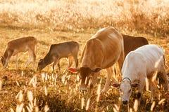 A vida da família da vaca no prado, a seca dourada Imagens de Stock Royalty Free