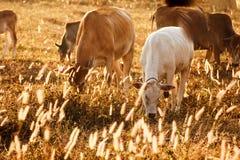 A vida da família da vaca no prado, a seca dourada Fotos de Stock Royalty Free