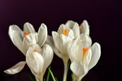 A vida da Páscoa ainda floresce o açafrão Fotografia de Stock Royalty Free