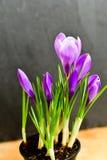 A vida da Páscoa ainda floresce o açafrão Imagem de Stock Royalty Free
