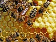 Vida das abelhas. Reprodução das abelhas. Fotos de Stock
