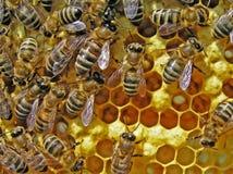 Vida das abelhas. Reprodução das abelhas. Imagens de Stock Royalty Free