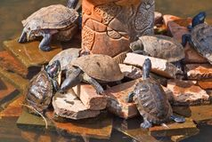 Vida das tartarugas Fotografia de Stock