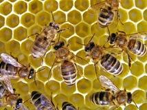 Vida de abejas. Imágenes de archivo libres de regalías