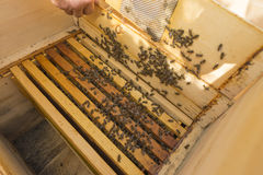 Vida de abejas Abejas de trabajador Las abejas traen la miel Imagenes de archivo