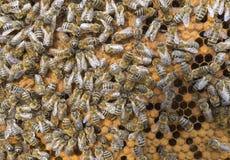 Vida de abejas Abejas de trabajador Las abejas traen la miel Imagen de archivo libre de regalías