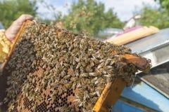 Vida de abejas Abejas de trabajador Las abejas traen la miel Fotografía de archivo