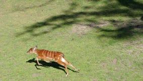 Vida de animales, poca hueva camina con la cabra al aire libre en el área protegida almacen de metraje de vídeo