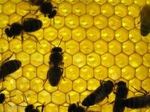 Vida de insectos. Abeja en honeyco Fotografía de archivo libre de regalías