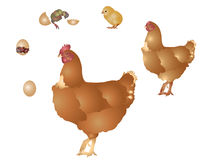 Vida de la gallina Imagen de archivo libre de regalías