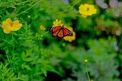 Vida de la mariposa, Barbados foto de archivo