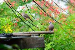 Vida de la paloma Imagen de archivo libre de regalías