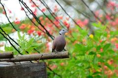 Vida de la paloma Fotografía de archivo libre de regalías