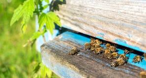 Vida de las abejas de trabajador Las abejas traen la miel Imagen de archivo libre de regalías