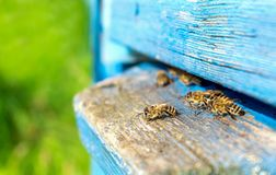 Vida de las abejas de trabajador Las abejas traen la miel Fotos de archivo