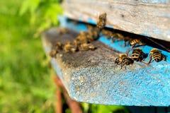 Vida de las abejas de trabajador Las abejas traen la miel Foto de archivo libre de regalías