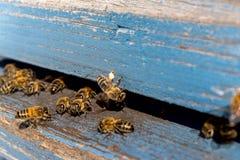 Vida de las abejas de trabajador Las abejas traen la miel Foto de archivo