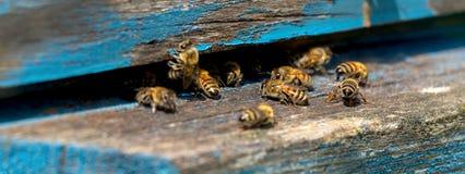 Vida de las abejas de trabajador Las abejas traen la miel Fotos de archivo libres de regalías