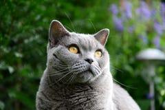 Vida de los gatos, azul británico Imagenes de archivo