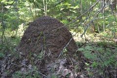 Vida de los insectos del bosque de la colina de la hormiga de las hormigas Fotos de archivo