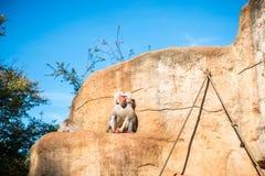 Vida de los monos Imagen de archivo