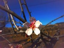 vida del Almendra-árbol Fotos de archivo libres de regalías