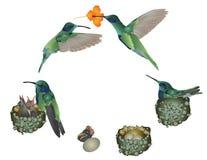 Vida del colibrí Fotografía de archivo