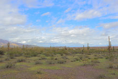 Vida del desierto de Arizona Foto de archivo